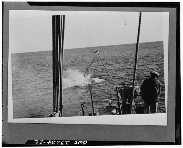 Harpoon hits humpback whale. The humpback whale has just been hit by the harpoon, and the bomb on the harpoon head has exploded. The gunner who fired the shot is shown in the foreground. The twisting of six-inch manila line attached to harpoon indicates the force of the impact