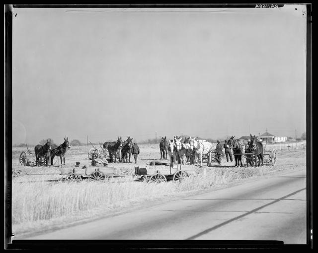 Mule teams near Montgomery, Alabama