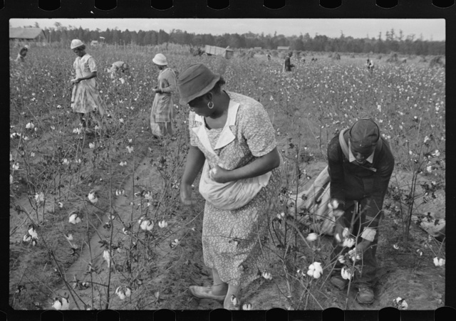 Picking cotton on Alexander plantation. Pulaski County, Arkansas