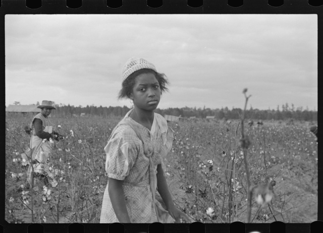 Picking cotton, Pulaski County, Arkansas