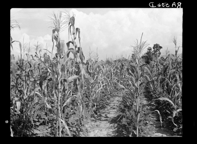 Rehabilitation client's corn field with second crop of beans. Louisiana
