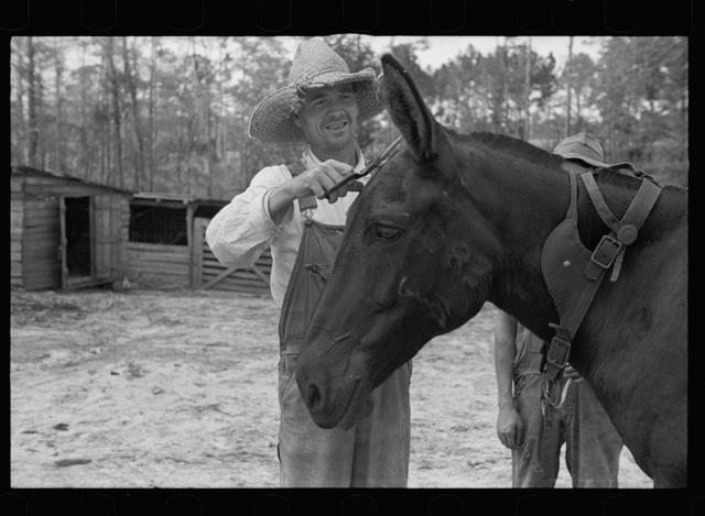 Resettled farmer clipping mule, Grady County, Georgia