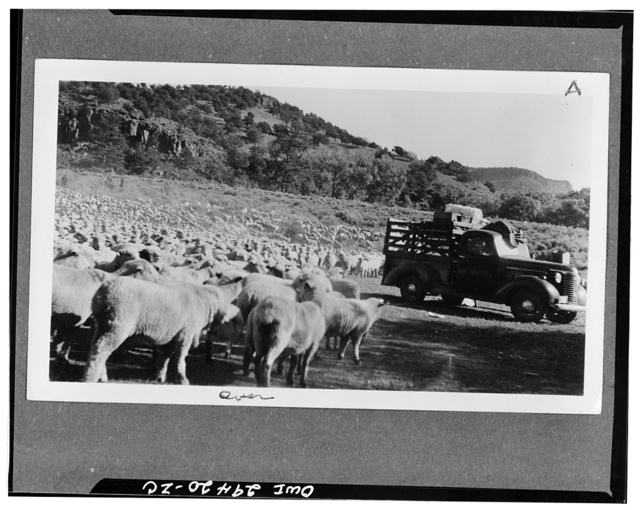 Rio Grande national forest, Colorado. Three thousand ewes and lambs on the trail from the summer range above the timber line at the head of the Rio Grand river, to the home ranch near La Jara