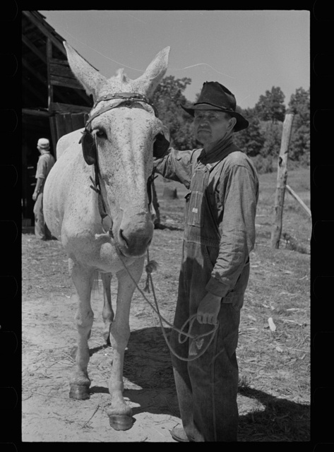 Tenant farmer with mule which has been given to him by Resettlement Administration, Lee County, Mississippi