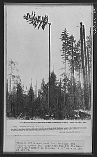Topping off a spar mast for the high lead logging operation. This tree was two hundred fifty feet high. The high climber is topping it off at a height of one hundred eighty-five feet. Washington