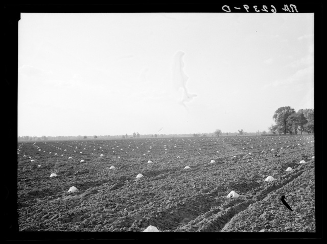 A melon field protected against insects. Mississippi County, Missouri