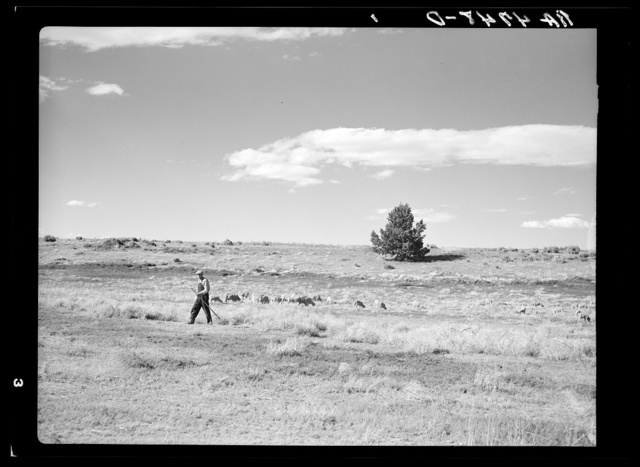A shepherd and his flocks on the grazing project in central Oregon
