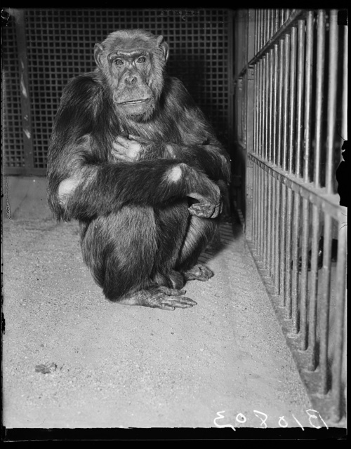 [Ape in cage]