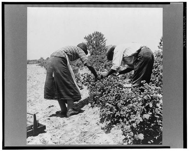 Berry pickers. Southern New Jersey. These pickers are Negroes brought in by truck from Delaware