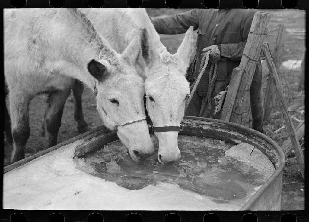 Breaking ice to water mules on on Rex Inman's farm near Estherville, Iowa. This farm of 360 acres is rented from company by tenant