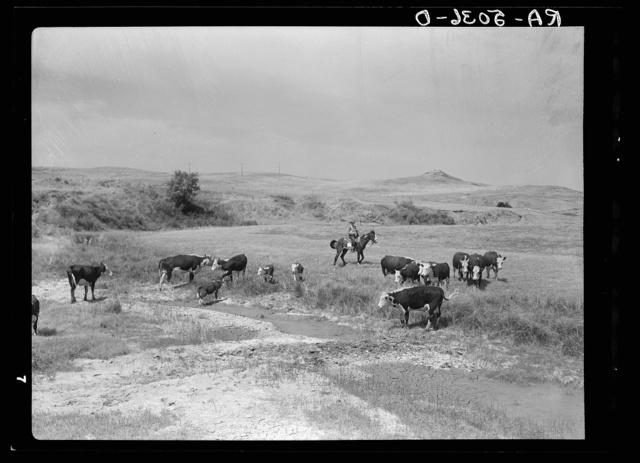 Cattle at a dried-up waterhole near Glendive, Montana
