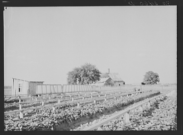 Community sweet potato plant projects at Lake Dick resettlement project near Althimer, Arkansas, showing hot beds with plants ready for transplanting. There are enough plants here for fifty acres and one hundred families
