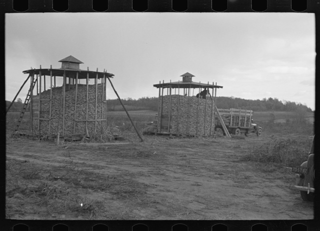 Corn stored by the farm group at Hightstown, New Jersey, for the dairy herd soon to be acquired by the colony