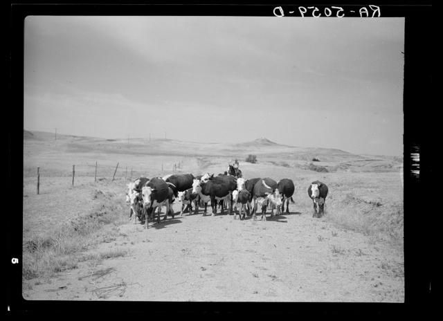 Driving cattle to water. Glendive, Montana
