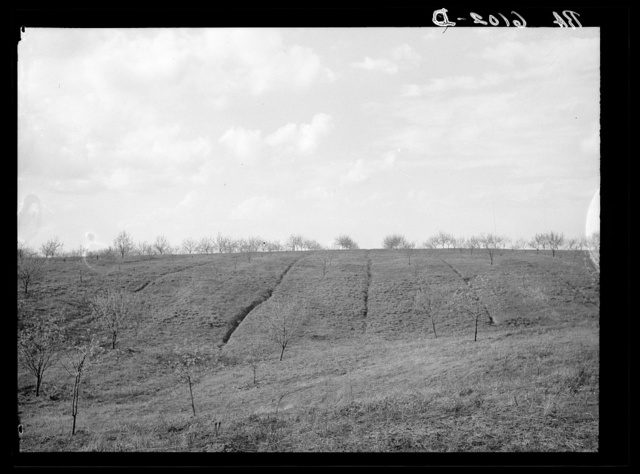 Erosion in this apple orchard started from dead furrows. The farmer could have prevented much of this erosion by plowing across the hillside instead of towards the trees. Illinois