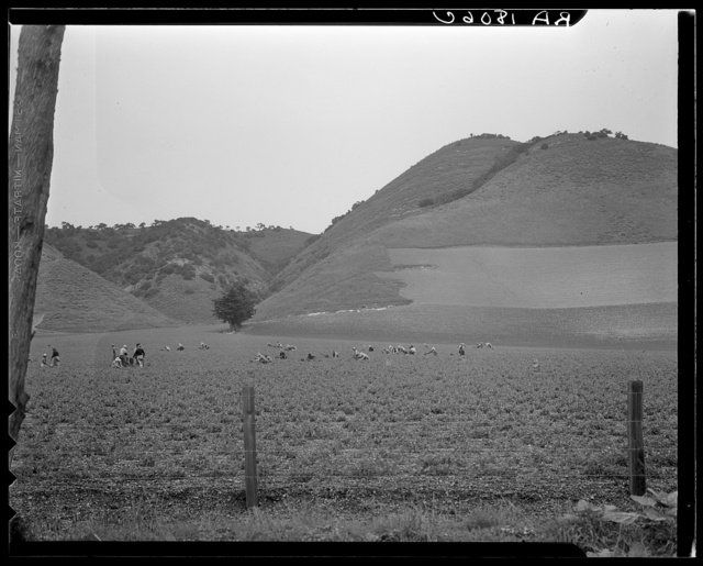 Filipino gang labor in pea fields near Pismo Beach, Nipomo, California. Work for Japanese, live on Japanese ranches. Sixty men in this gang