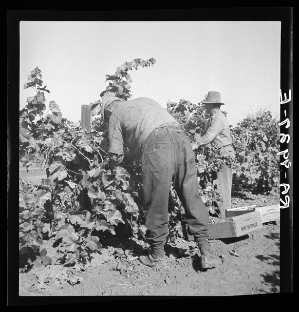 Harvesting grapes near La Monte. Kern County, California. Lithuanian contract labor