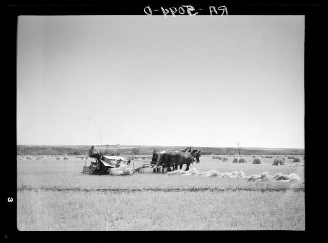 Harvesting wheat on an irrigated field near Billings, Montana
