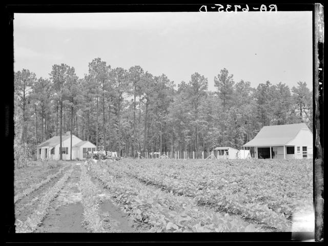 Homesteader hoeing tobacco. Penderlea Homesteads, North Carolina