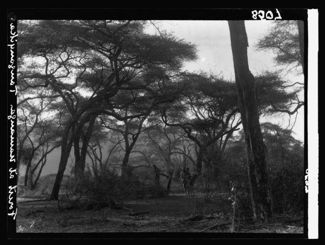 Kenya Colony. Namanga, southern game reserve. Forest Country near Namanga