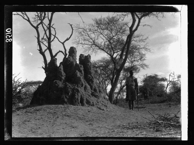 Kenya Colony. Namanga, southern game reserve. Large ant hill in Namanga forest