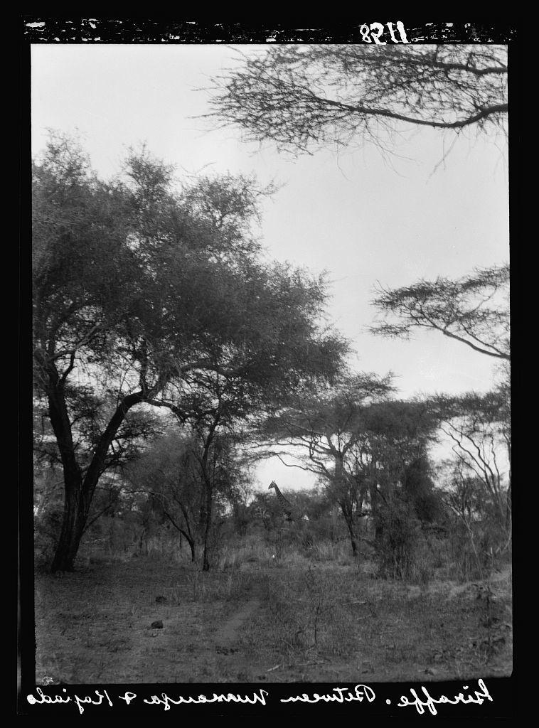 Kenya Colony. Namanga, southern game reserve. Large giraffe stalking through the forest