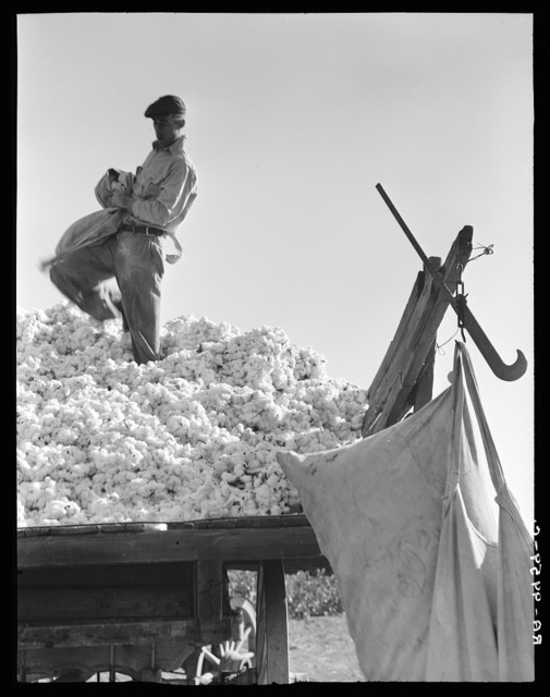 Loading cotton. San Joaquin Valley, California