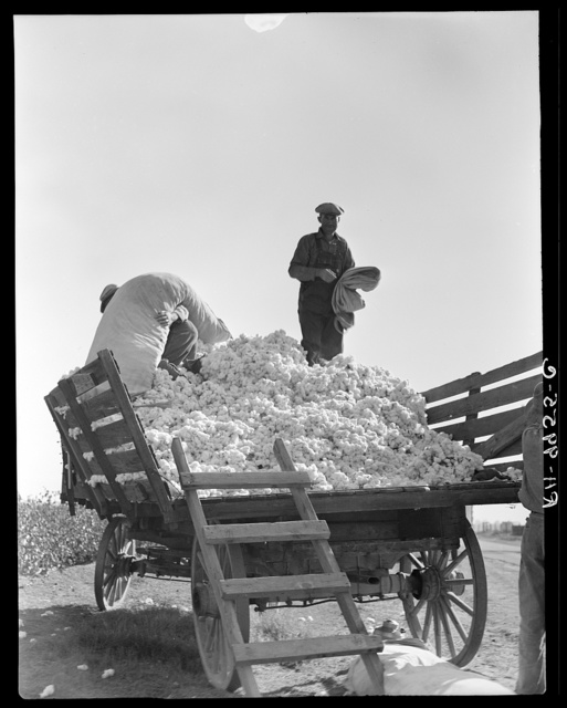 Loading cotton. Southern San Joaquin Valley, California