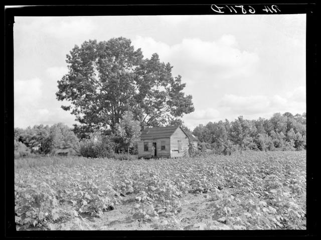 Lobeco, South Carolina. A white tenant farm, a three-room shack which houses a family of eleven