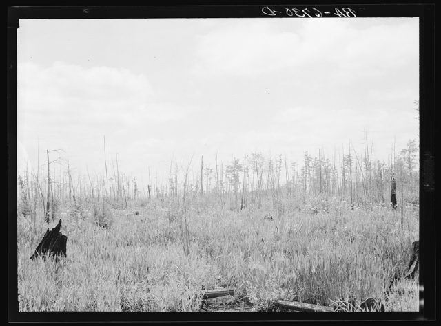 Marsh area on edge of Okefenokee Swamp, part of purchase area of Coastal Flatwoods upland game conservation project. Near Waycross, Georgia