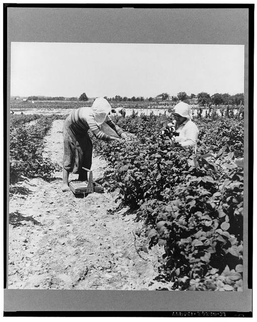 Migrants from Delaware picking berries in southern New Jersey