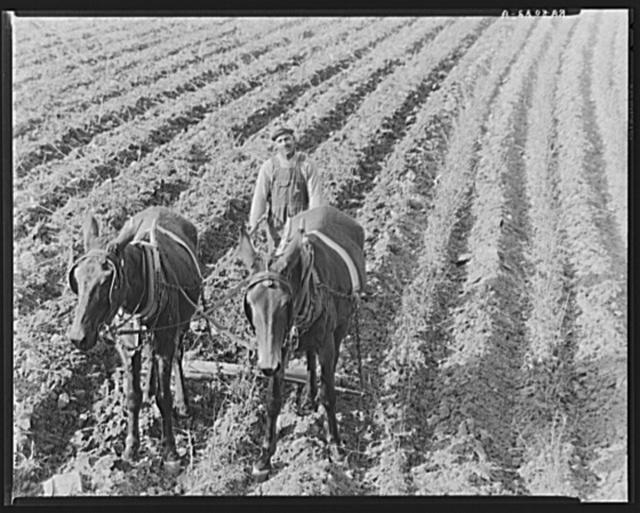 Near Tupelo, Mississippi. Negro farming