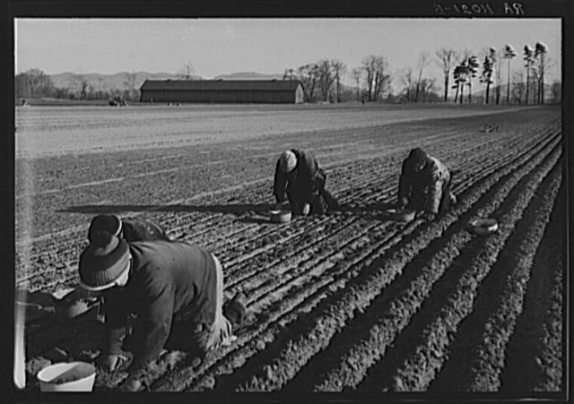 Onion planters near Hatfield, Massachusetts
