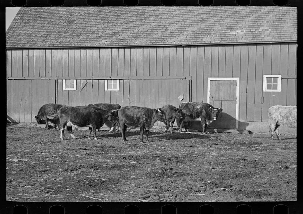 Part of shorthorn cattle herd belonging to G.H. West near Estherville, Iowa
