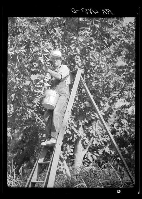 Picking cherries. Yakima, Washington