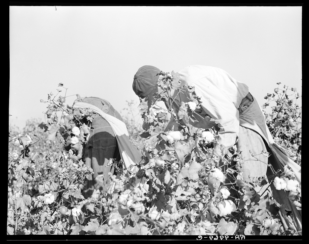 Picking cotton. San Joaquin Valley, California