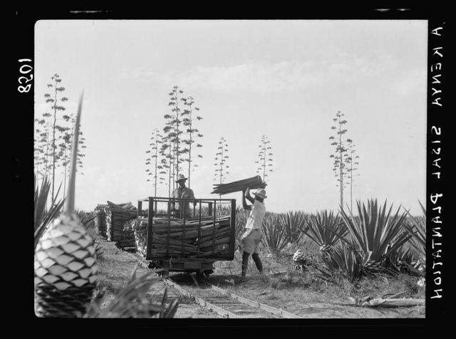 Plantations in Kenya Colony. Loading sisal on narrow gauge R.R. [i.e., railroad] car