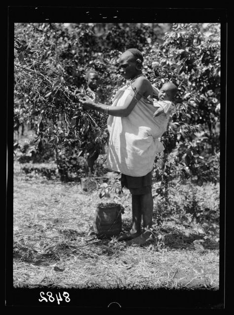 Plantations in Kenya Colony. Native woman picking coffee with baby on her back