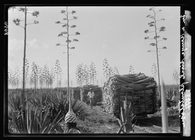 Plantations in Kenya Colony. Sisal plantation showing loads on narrow gauge R.R. [i.e., railroad]