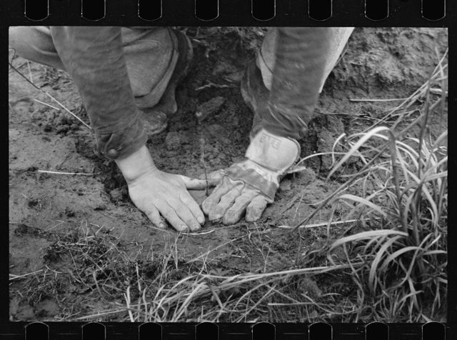 Planting locust root cutting, Natchez Trace Project, near Lexington, Tennessee