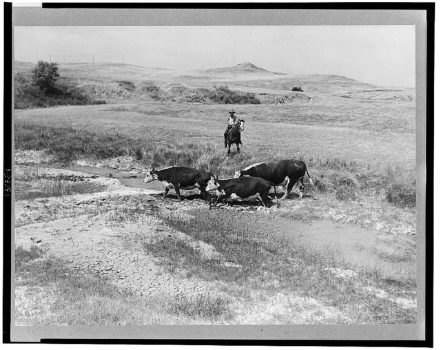 Rancher's son driving cattle to a new water hole. Glendive, Montana