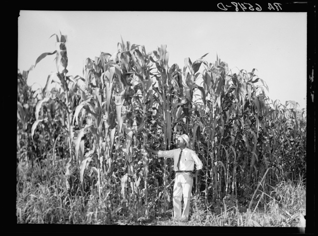 Rehabilitation Administration loan supervisor, St. Charles Parish, near New Orleans, Louisiana, standing alongside corn which is yielding one hundred bushels an acre. This land has not been planted on for more than twenty-six years