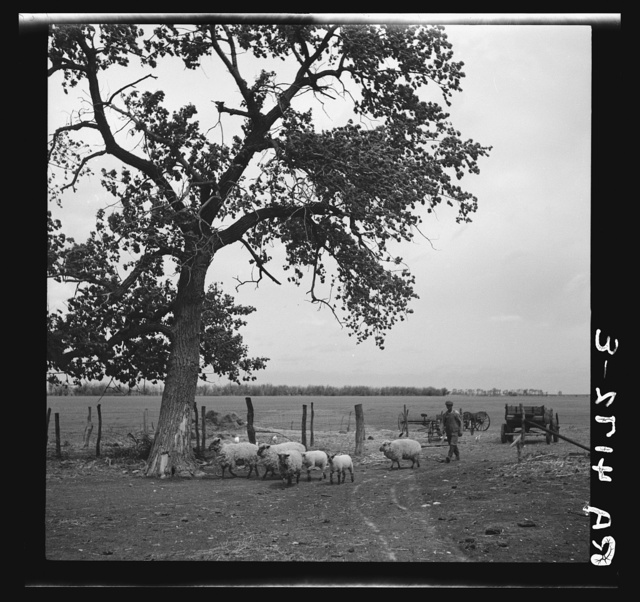 Rehabilitation client whose stock was saved by Farm Debt Adjustment Committee. Allen County, Kansas