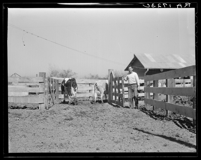 Self-help cooperative dairy. This dairy is being taken over by the Resettlement Administration. Near Santa Ana, California