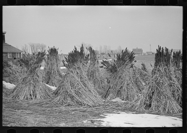 Several stacks of sugarcane, Emmet County, Iowa