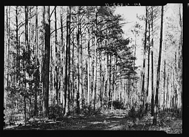 Stand of timber on the Eastern Shore Land Use Project, Maryland