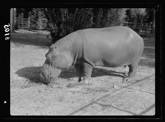 Sudan. Khartoum. Khartoum Zoo. A hippopotamus