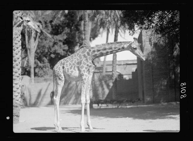 Sudan. Khartoum. Khartoum Zoo. Giraffe