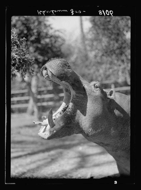 Sudan. Khartoum. Khartoum Zoo. Hippo yawning