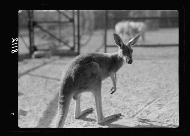 Sudan. Khartoum. Khartoum Zoo. Kangaroo